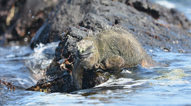 Marine Iguana in water with crab