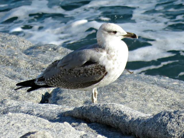 Juvenile Herring Gull,Cami de Ronda, S'Agaró, Catalonia