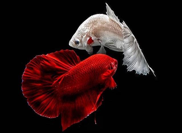 Ikan Cupang Mudah dipelihara