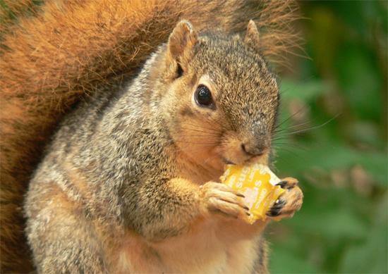 Esquilo de alimentando