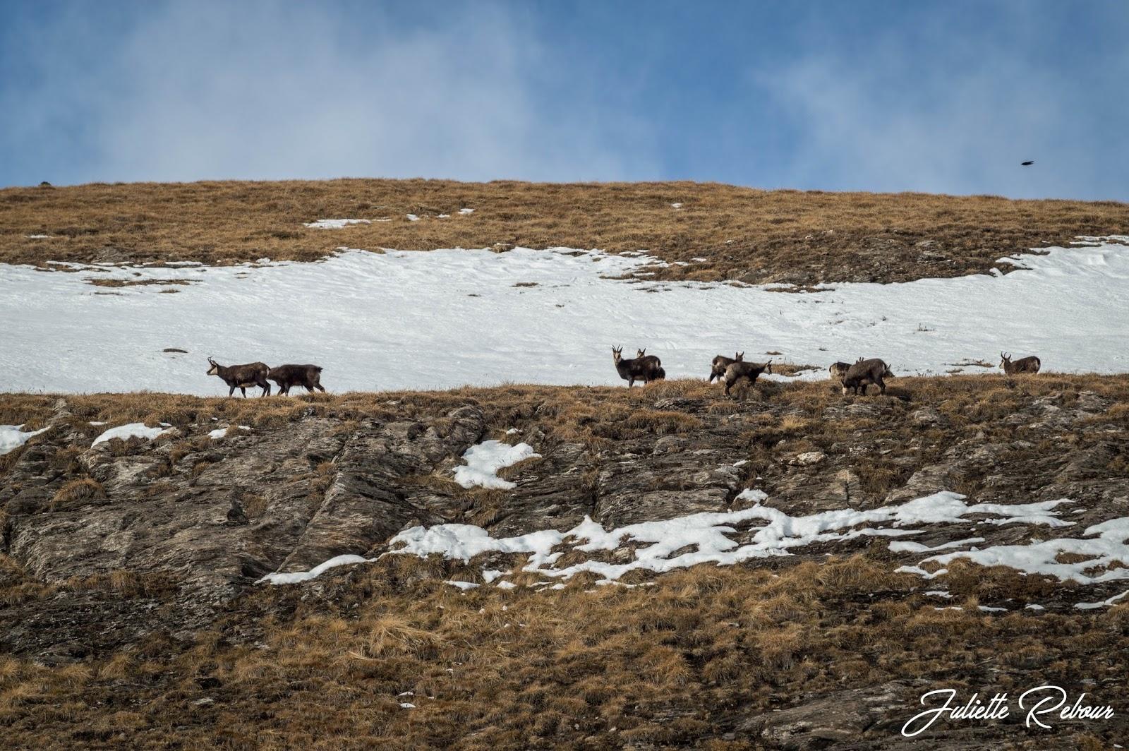 Harde de chamois en Savoie
