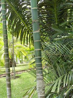 Areca catechu - Palmier à bétel - Aréquier - Noix d'arec - Arec cachou