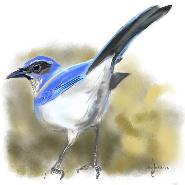 Western scrub jay bird painting by Artmagenta