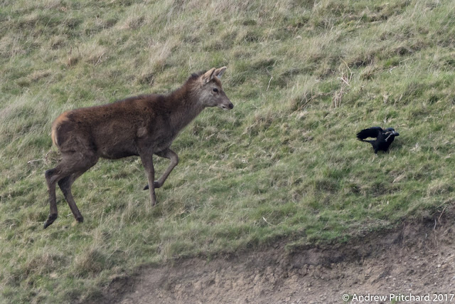 A crow being investigated by a calf, whilst gathering twigs.