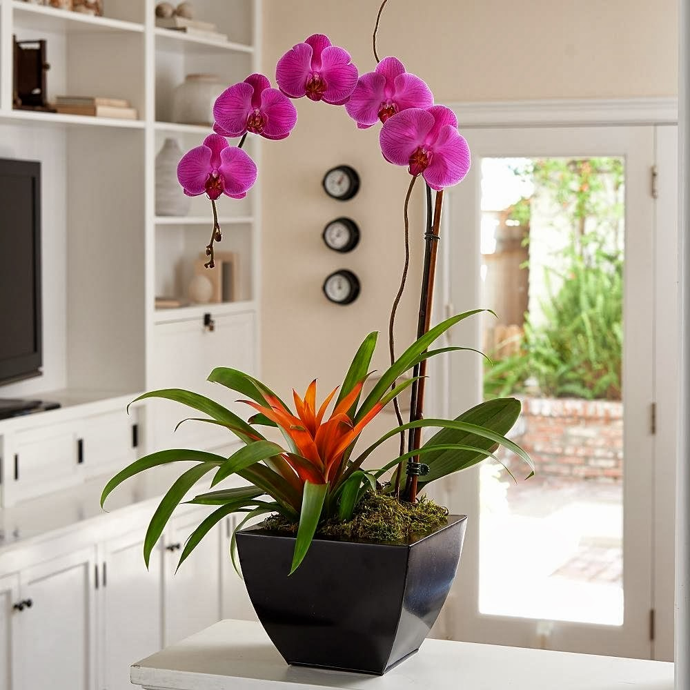 Mardi Gra Orchid