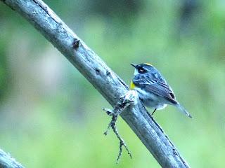 Paruline à croupion jaune - Setophaga coronata