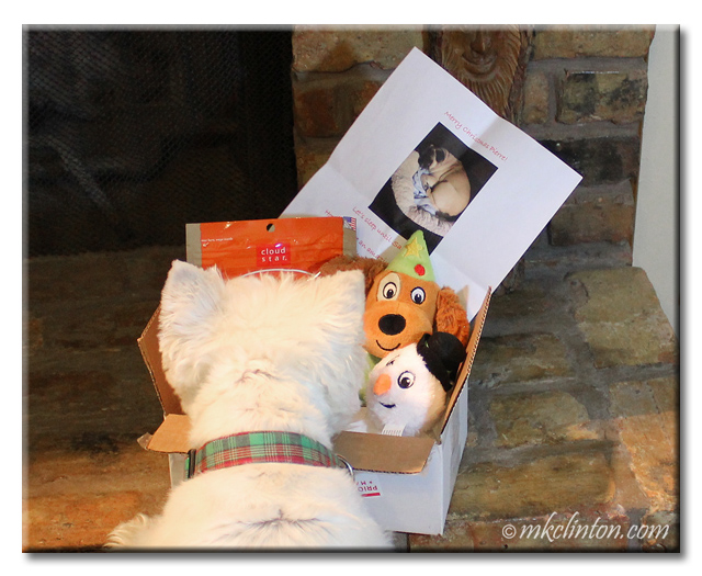 Westie looks at his Christmas package.
