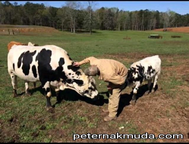 menyayangi hewan ternak