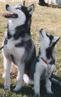 Cachorro y Adulto de Husky Siberiano