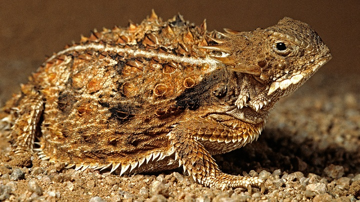 Horned Lizard, Kadal dengan Kemampuan Paling Mengerikan