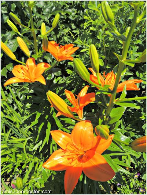 Lírio de Día en el Puente de las Flores de Shelburne Falls