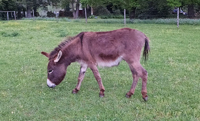 brown miniature donkey grazing on grass pasture
