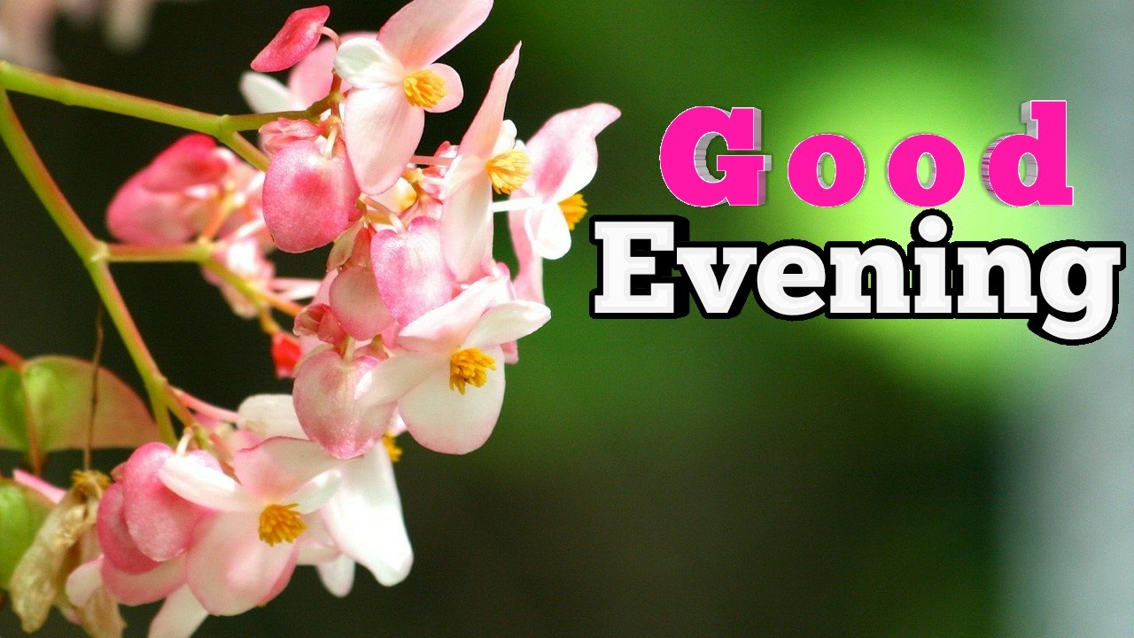 image of beautiful white & pink flowers with good evening