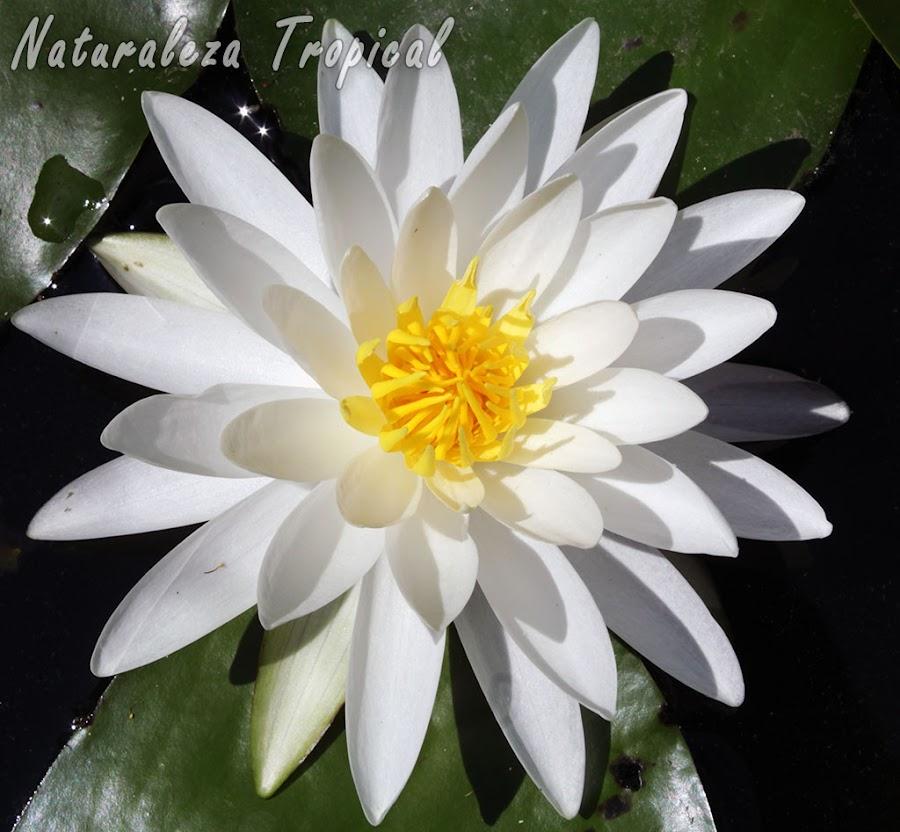 Variedad blanca de la flor de la planta acuática conocida como nenúfar, género Nymphea