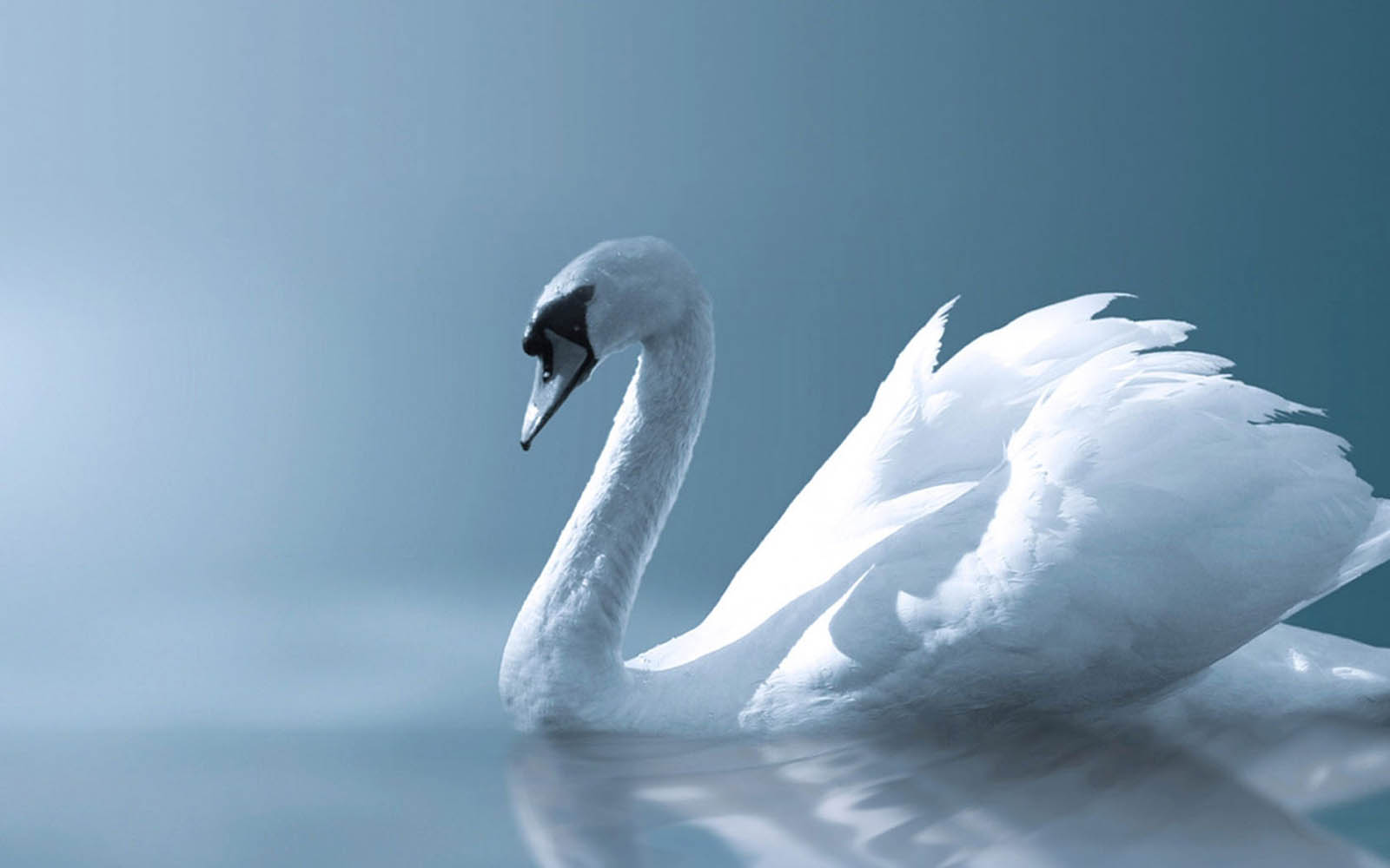 wallpapers: Swan Wallpapers