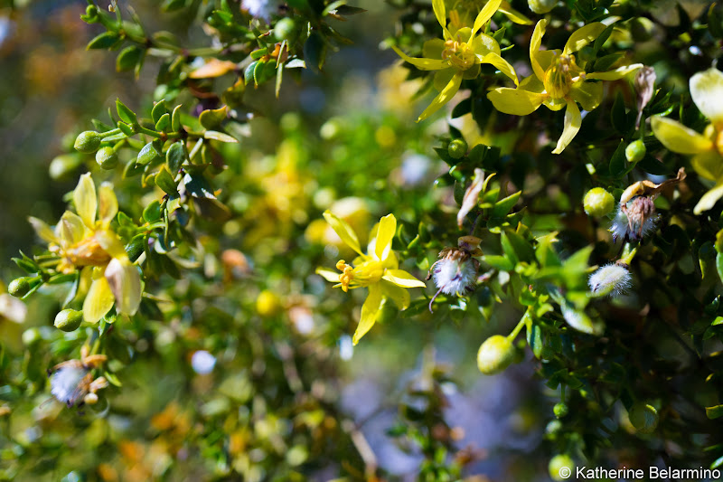 Creosote Bush Southern California Anza-Borrego Desert Wildflowers