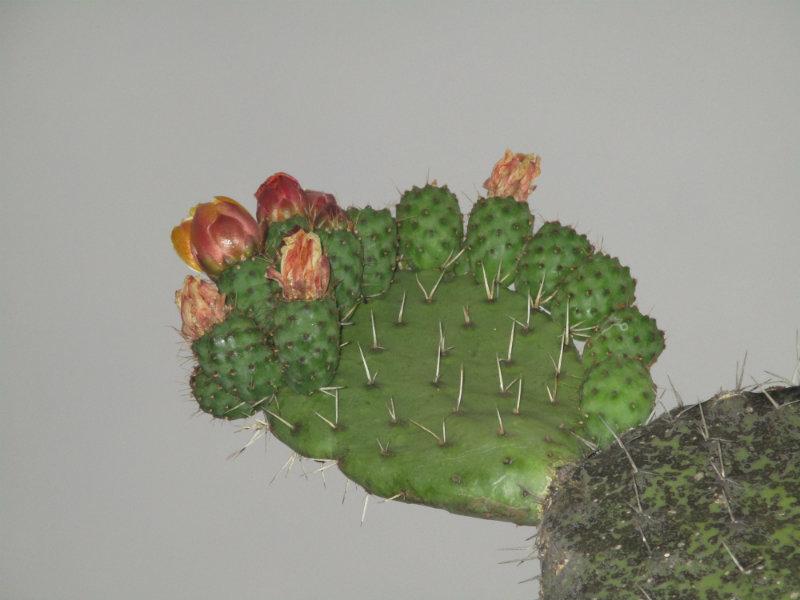El nopal - blog 11