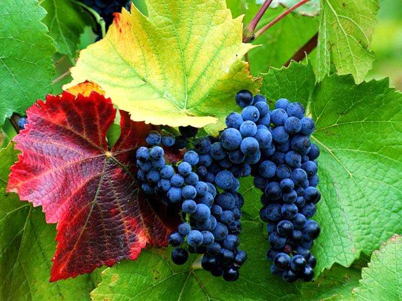 blue-grapes-pic