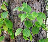 Hasil gambar untuk akar sirih
