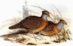 Bearded Wood-partridge
