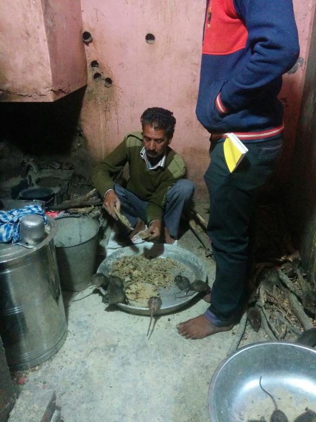 Rats being fed hot bajra roti at Karni Mata Temple, Bikaner, Rajasthan