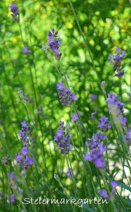 Lavendelblüten-im-Sommer-Steiermarkgarten