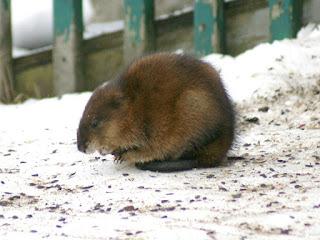 Ondatra zibethicus - Rat musqué - Rat d'Amérique