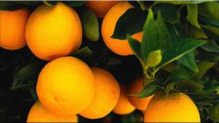 gambar buah valencia, jeruk valencia