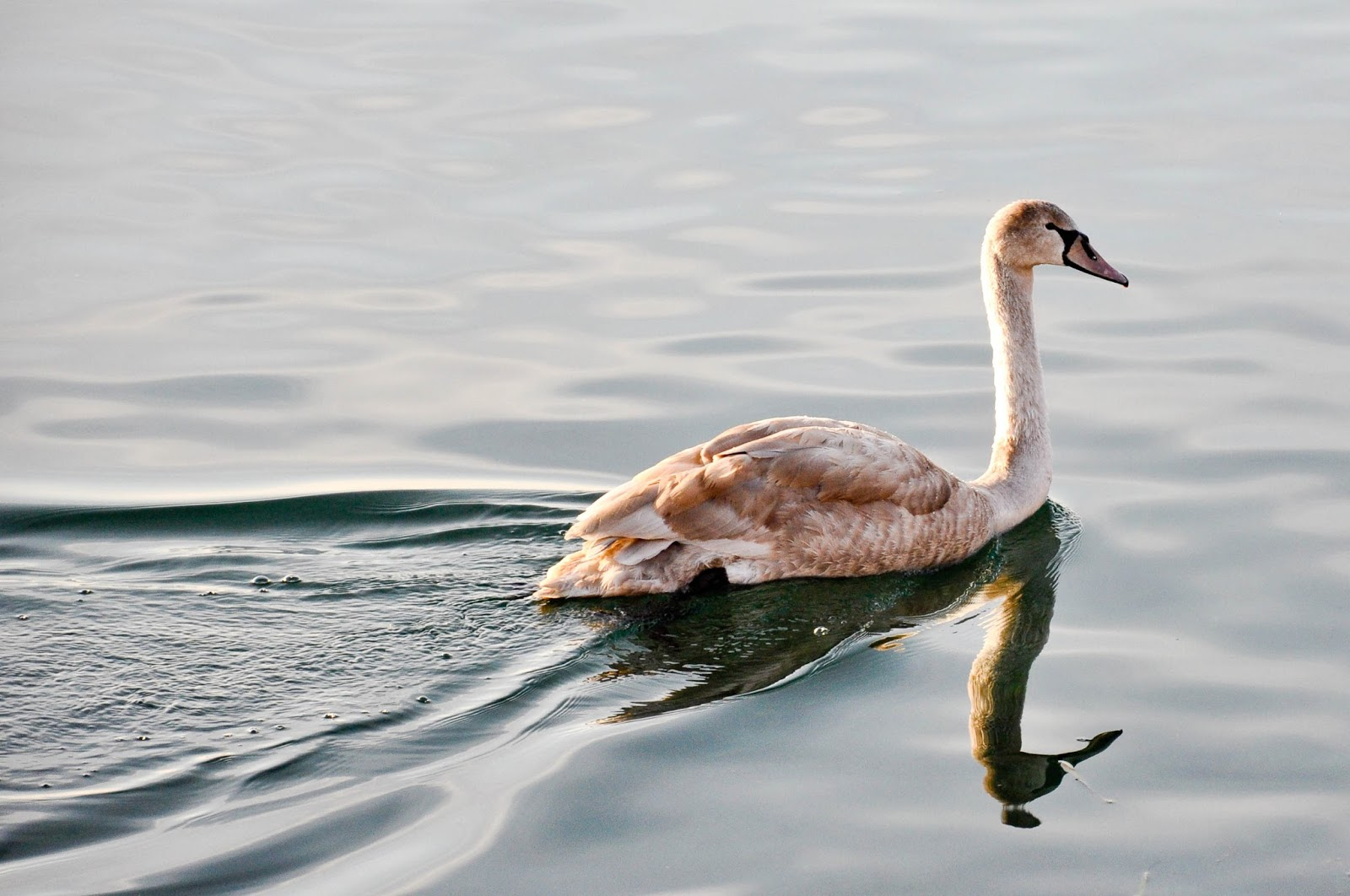The young swan, Bardolino, Lake Garda, Italy