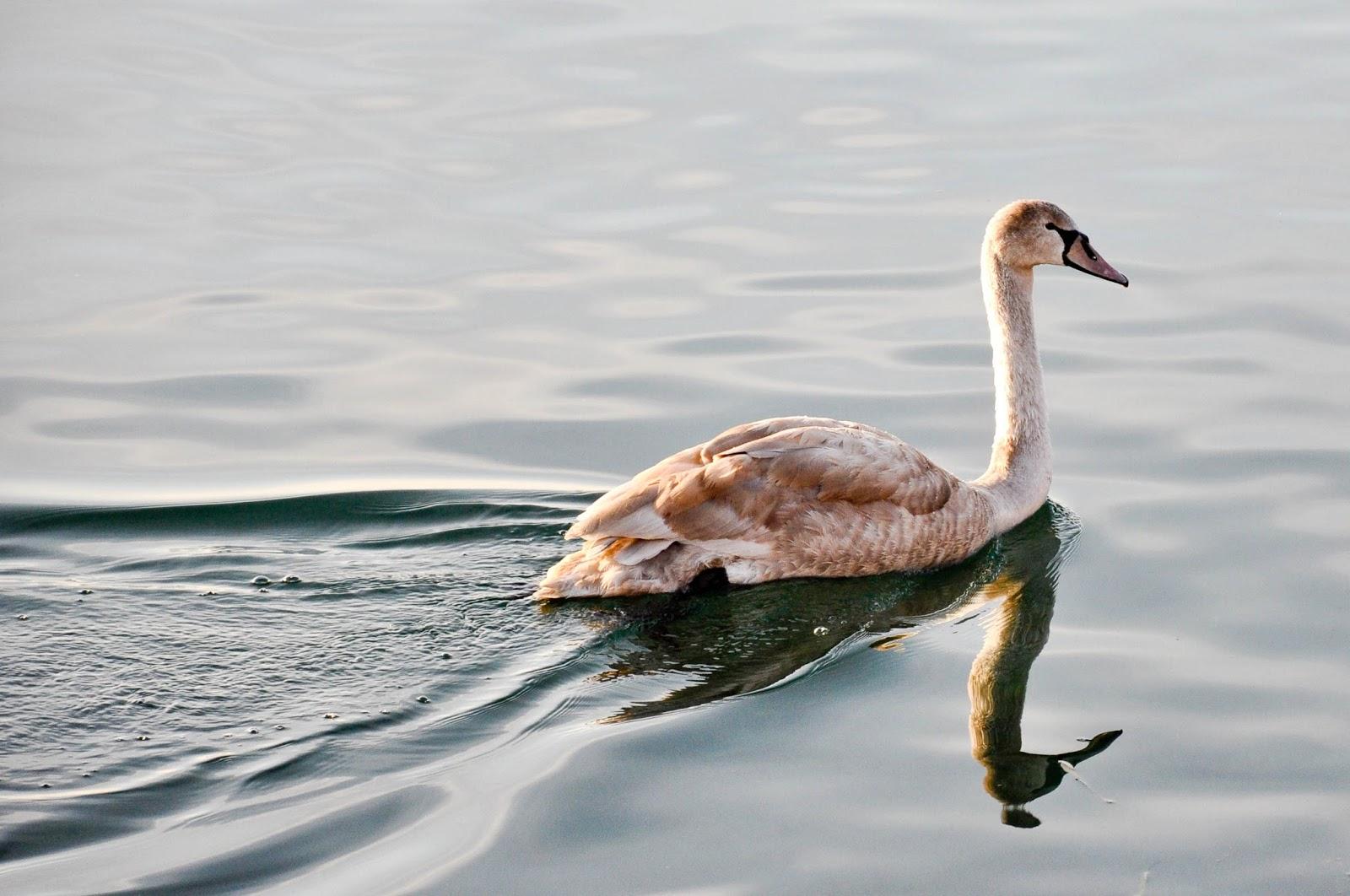 The young swan, Bardolino, Lake Garda, Italy