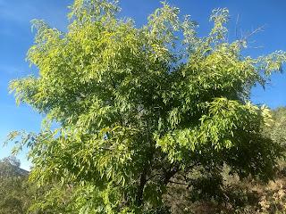 Fraxinus uhdei, Fresno