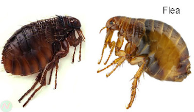 flea, flea insect