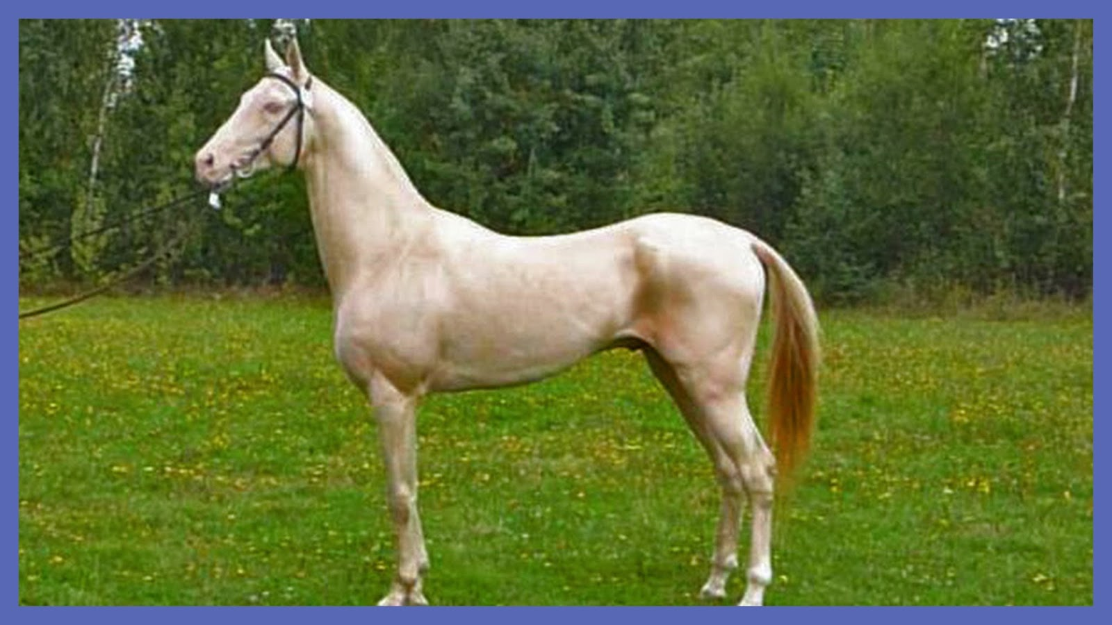 Re Train Your Brain To Happiness The Akhal Teke Horse