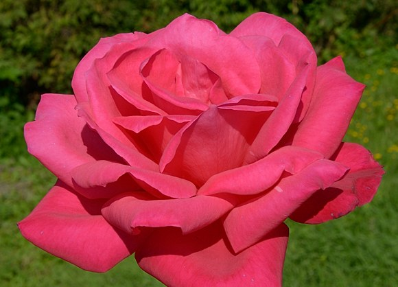 Maria Callas сорт розы фото Мейланд купить саженцы Минск