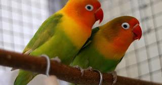 lovebird tidak bertelur, lovebird bertelur