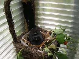 Burung Murai Batu - Jauhkan Ganguan Predator dan Parasit yang Mengganggu Indukan Burung Murai Batu Dalam Mengerami Telurnya - Penangkaran Burung Murai Batu