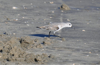 Small gray and white shorebird