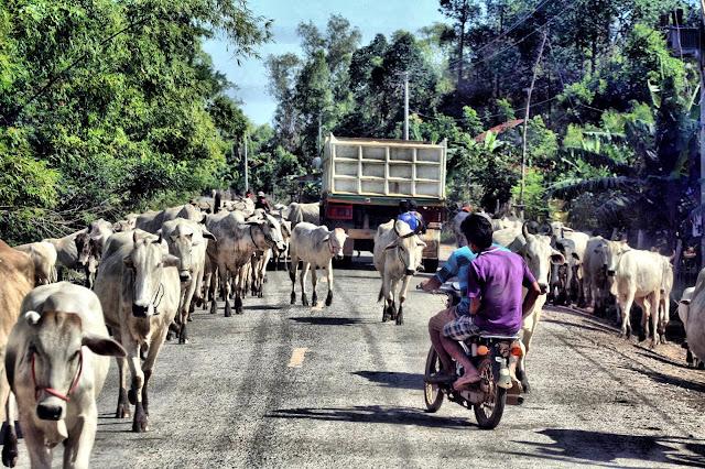 Embouteillage de bovins