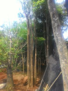 Harga jual pohon pule Batang besar murah