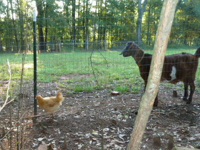 Buff Orpington chicken and Nubian goat