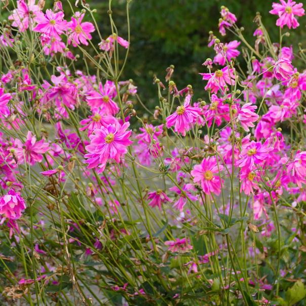 Herbstanemonen, Garten, Pink, Rosa, Herbst