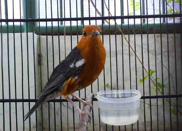 Tips Jitu Cara Merawat Anis Merah Macet Gacor