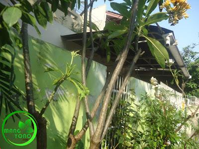 FOTO : Pohon kamboja yang dilakukan Grafting / sambunga.