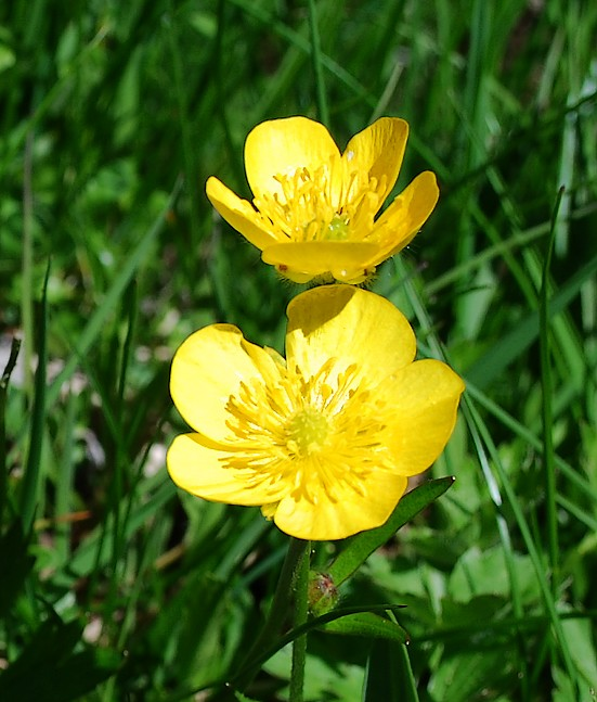 flore sauvage en suisse  et jardins botaniques   ranunculus montanus aggr   ou ranunculus montana