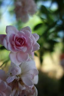rose, roses, garden, garlic, companion planting,