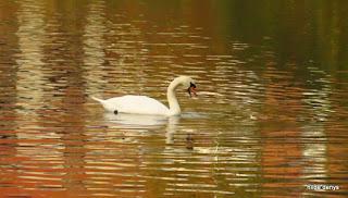 Fall 2018, Swan at Zoete waters, Oud-Heverlee, Belgium