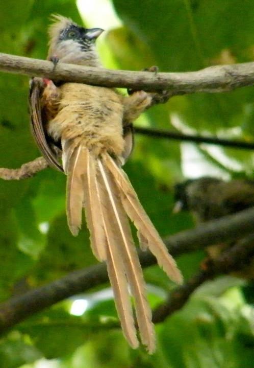 paajaro raton dorso rojo Colius castanotus