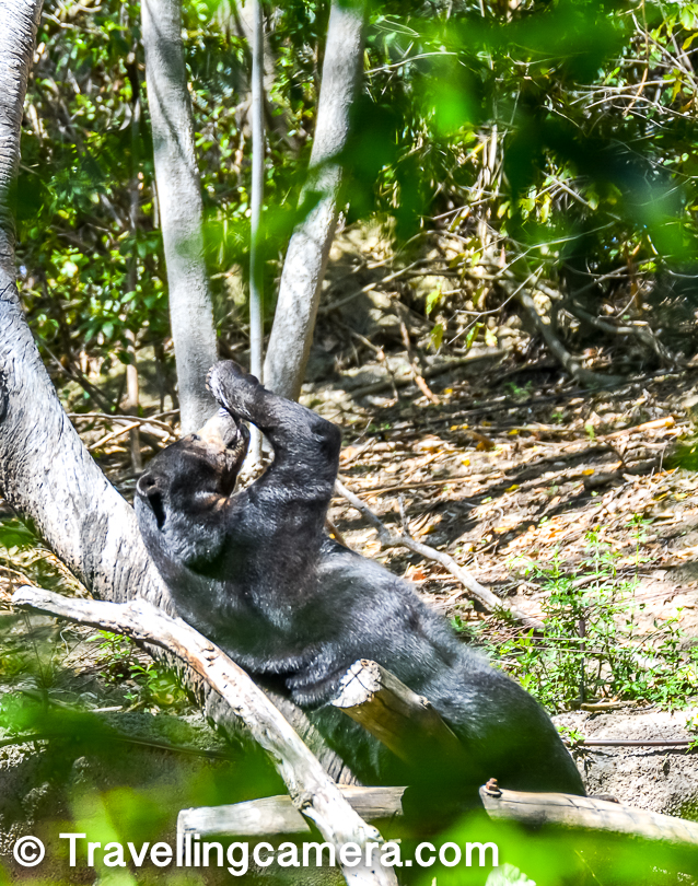 This sloth bear was having fun. He had a lovely place to relax and soak the sun.