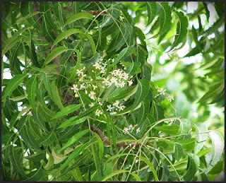 The benefits of neem oil for dogs and people.