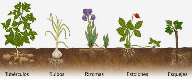 Tipos de reproduccion asexual en las plantas estolones